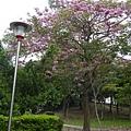 豐樂公園洋紅風鈴木 (20)