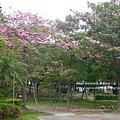 豐樂公園洋紅風鈴木 (26)