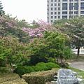 豐樂公園洋紅風鈴木 (27)