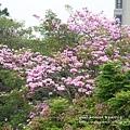 豐樂公園洋紅風鈴木 (28)