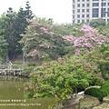豐樂公園洋紅風鈴木 (30)
