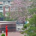 豐樂公園洋紅風鈴木 (36)