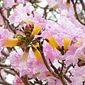豐樂公園洋紅風鈴木 (45)