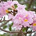豐樂公園洋紅風鈴木 (44)