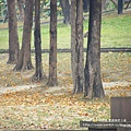 豐樂公園洋紅風鈴木 (47)