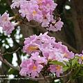豐樂公園洋紅風鈴木 (5)