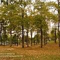 豐樂公園洋紅風鈴木 (7)