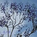 溪州藍花楹 (10)