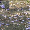 溪州藍花楹 (24)