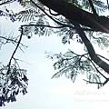 溪州藍花楹 (32)