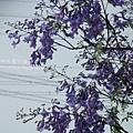 溪州藍花楹 (47)