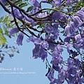 溪州藍花楹 (52)