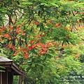 溪州綠筍路鳳凰花開 (108)