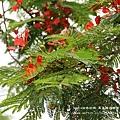 溪州綠筍路鳳凰花開 (116)