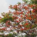 溪州綠筍路鳳凰花開 (120)