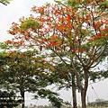 溪州綠筍路鳳凰花開 (117)