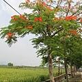 溪州綠筍路鳳凰花開 (122)