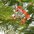 溪州綠筍路鳳凰花開 (124)