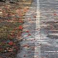 溪州綠筍路鳳凰花開 (133)