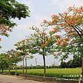 溪州綠筍路鳳凰花開 (135)