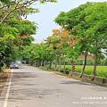 溪州綠筍路鳳凰花開 (140)