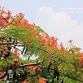 溪州綠筍路鳳凰花開 (143)