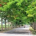 溪州綠筍路鳳凰花開 (150)