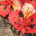 溪州綠筍路鳳凰花開 (154)