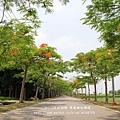 溪州綠筍路鳳凰花開 (168)