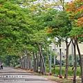 溪州綠筍路鳳凰花開 (174)