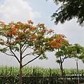 溪州綠筍路鳳凰花開 (177)