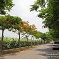 溪州綠筍路鳳凰花開 (179)
