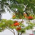 溪州綠筍路鳳凰花開 (185)