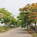 溪州綠筍路鳳凰花開 (198)
