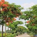 溪州綠筍路鳳凰花開 (210)
