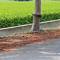 溪州綠筍路鳳凰花開 (207)