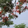 溪州綠筍路鳳凰花開 (212)