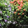 溪州落羽松田中石頭魚 (186)