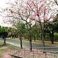 北斗河濱公園美人樹 (100)