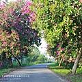 東螺溪自行車道豔紫荊 (37)