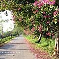 東螺溪自行車道豔紫荊 (42)
