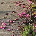 東螺溪自行車道豔紫荊 (45)