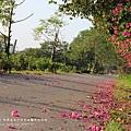 東螺溪自行車道豔紫荊 (52)