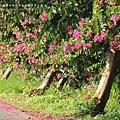 東螺溪自行車道豔紫荊 (56)