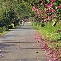 東螺溪自行車道豔紫荊 (63)