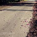 東螺溪自行車道豔紫荊 (73)