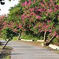 東螺溪自行車道豔紫荊 (74)