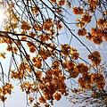 黃金風鈴木 (146)