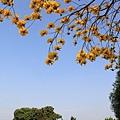 黃金風鈴木 (138)