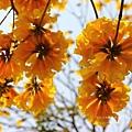 黃金風鈴木 (147)